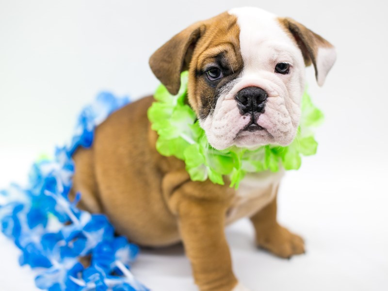 English Bulldog-Male-Red & White-2728834-Petland Wichita, KS