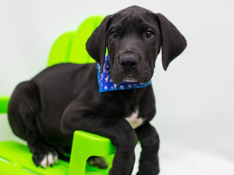 Great Dane-Male-Black-2728830-Petland Wichita, KS
