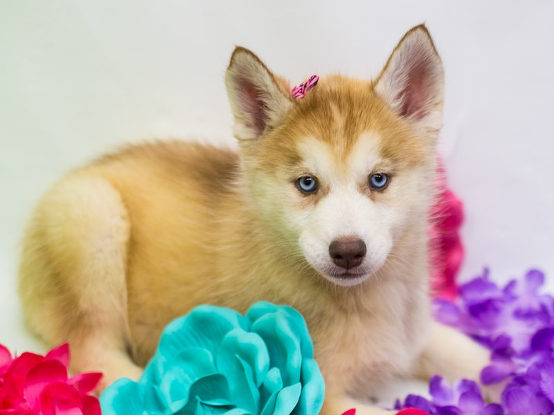 Siberian Husky-DOG-Female-Red & White-2735836-Petland Wichita, KS
