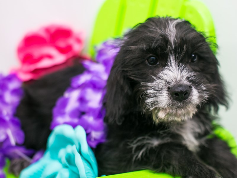 Labradoodle-DOG-Female-Black, White Markings-2735820-Petland Wichita, KS