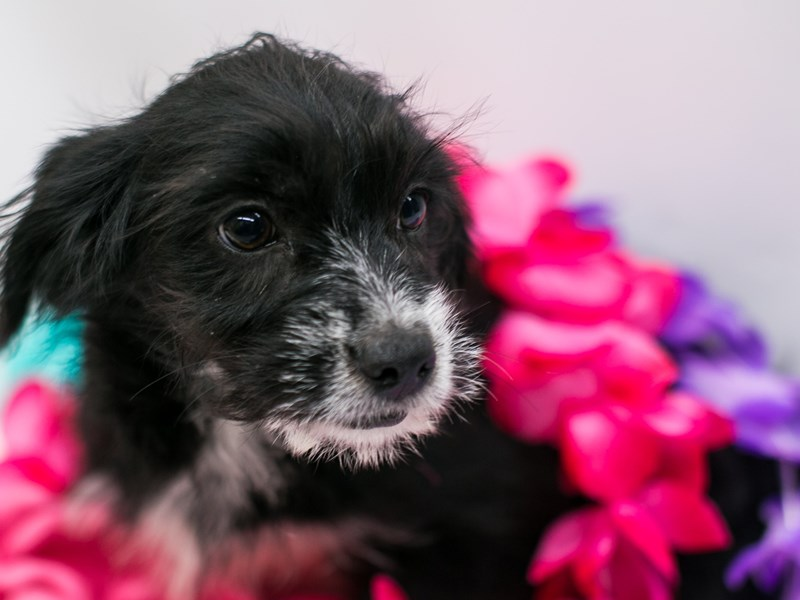 Labradoodle-DOG-Female-Black, White Markings-2735805-Petland Wichita, KS