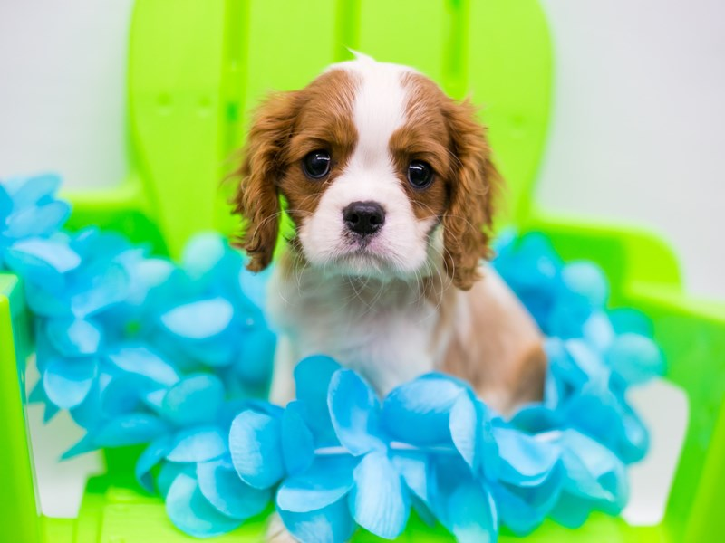 Cavalier King Charles Spaniel-Male-Blenheim-2735776-Petland Wichita, KS