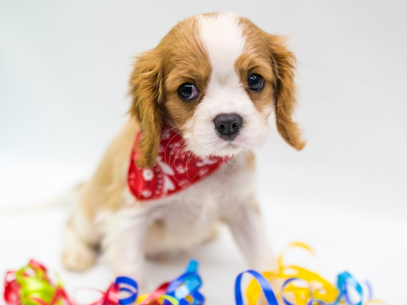 Cavalier King Charles Spaniel-Male-Blenehim-2735762-Petland Wichita, KS