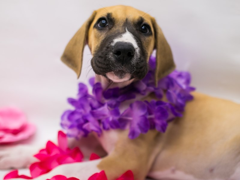 Great Dane-Female-Fawn Mantle-2728815-Petland Wichita, KS