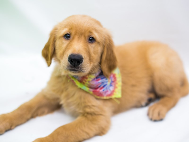 Golden Retriever-Male-Dark Golden-2743891-Petland Wichita, KS