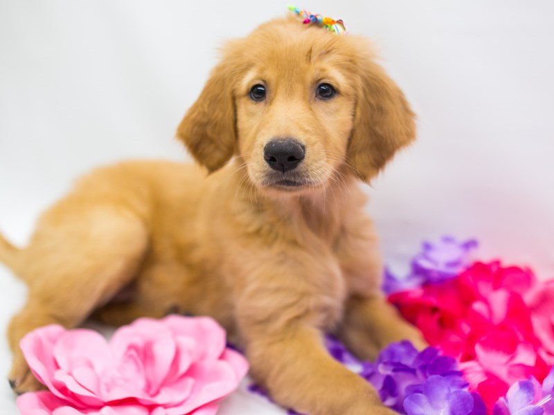 Golden Retriever-Female-Dark Golden-2743885-Petland Wichita, KS