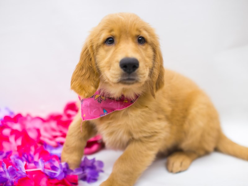 Golden Retriever-DOG-Female-Dark Golden-2743881-Petland Wichita, KS