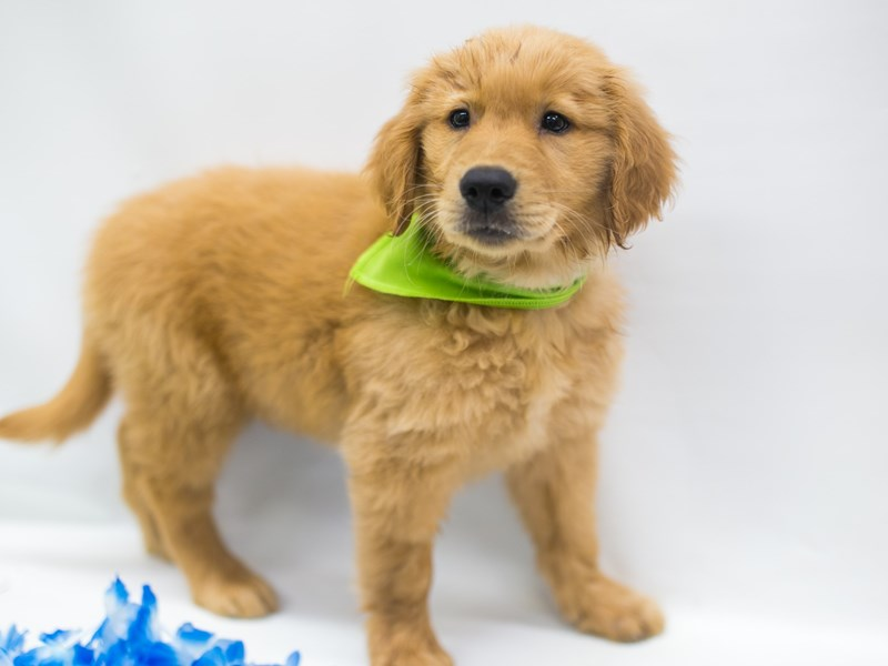 Golden Retriever-Male-Dark Golden-2743875-Petland Wichita, KS