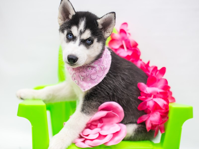 Siberian Husky-Female-Black & White-2743832-Petland Wichita, KS
