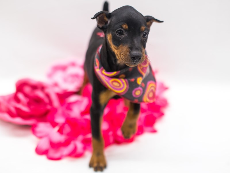 Miniature Pinscher-DOG-Female-Black & Tan-2741941-Petland Wichita, KS