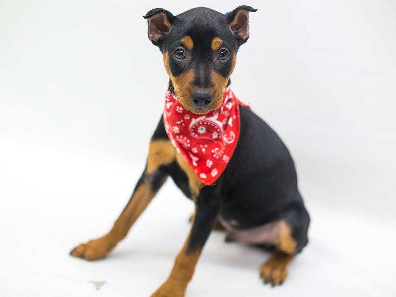 Miniature Pinscher-DOG-Male-Black & Tan-2741919-Petland Wichita, KS