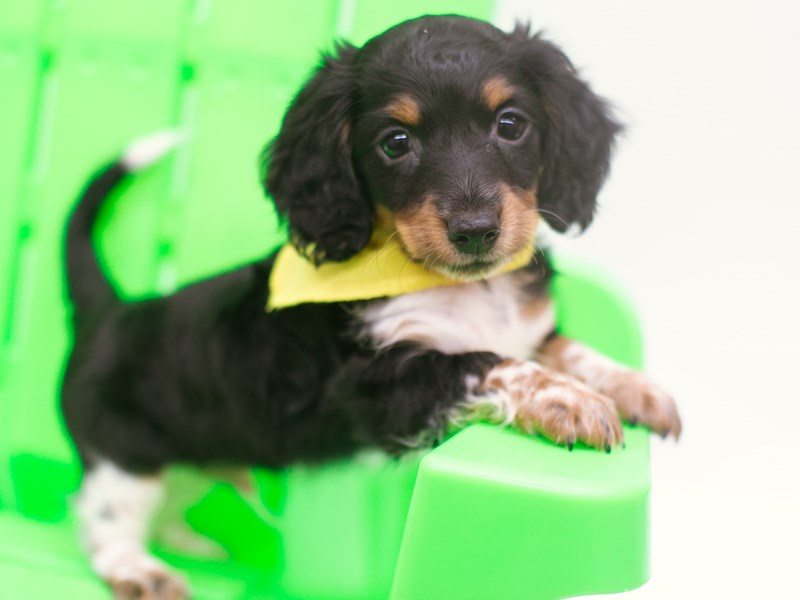 Miniature Dachshund-Male-Black Tri-2751155-Petland Wichita, KS