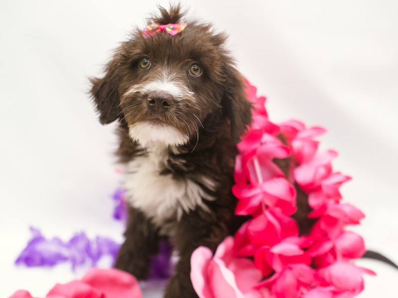 Double Doodle-DOG-Female-Chocolate & White-2750656-Petland Wichita, KS