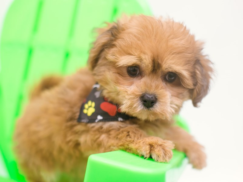 Cavapompoo-Male-Red-2750616-Petland Wichita, KS
