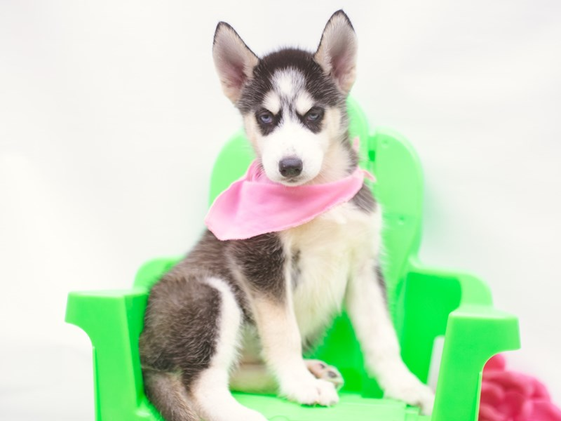 Siberian Husky-DOG-Female-Black & White-2750589-Petland Wichita, KS
