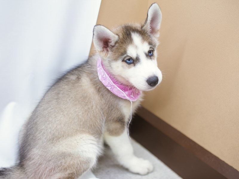 Siberian Husky-Female-Grey & White-2750587-Petland Wichita, KS