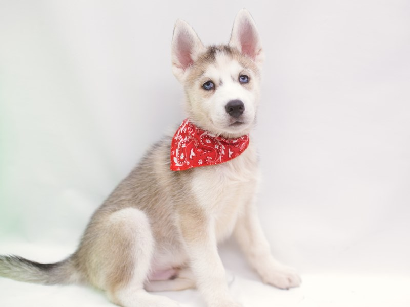 Siberian Husky-Male-Grey & White-2750578-Petland Wichita, KS