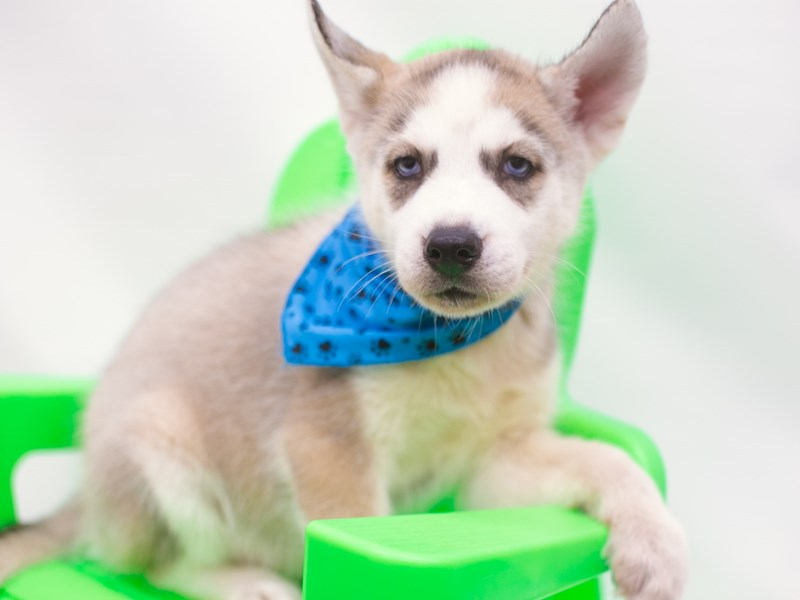 Siberian Husky-Male-Grey & White-2750570-Petland Wichita, KS