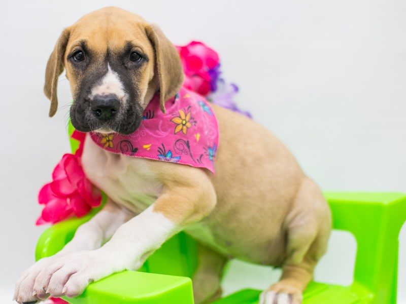 Great Dane-Female-Fawn Mantle-2722310-Petland Wichita, KS