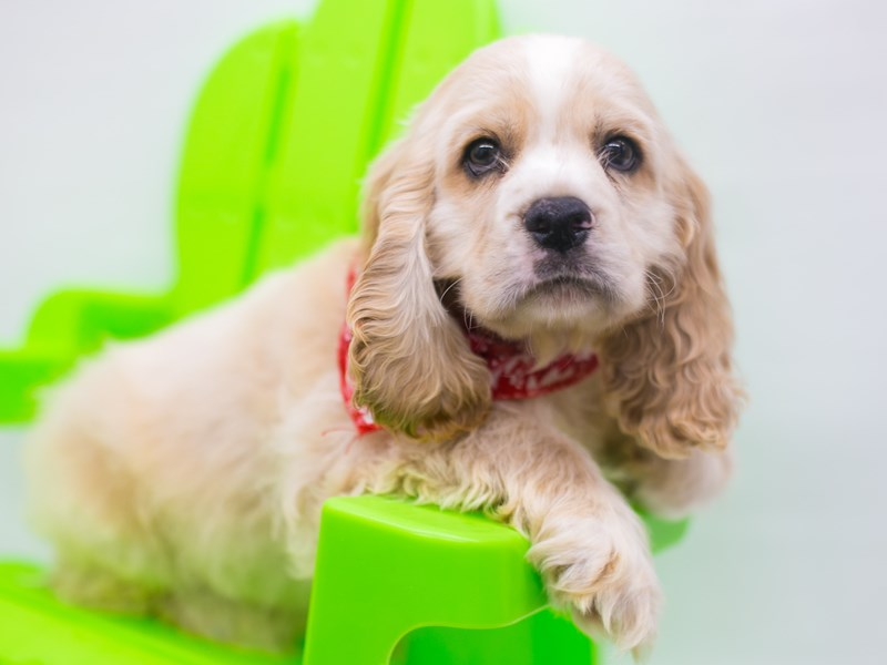 Cocker Spaniel-Male-Buff & Cream-2743856-Petland Wichita, KS