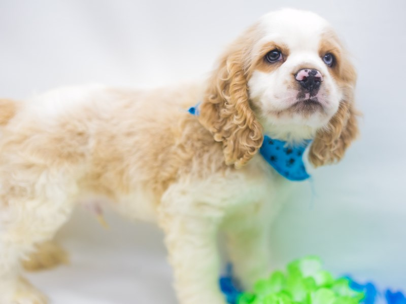 Cocker Spaniel-Male-Buff & White (one blue eye)-2743853-Petland Wichita, KS