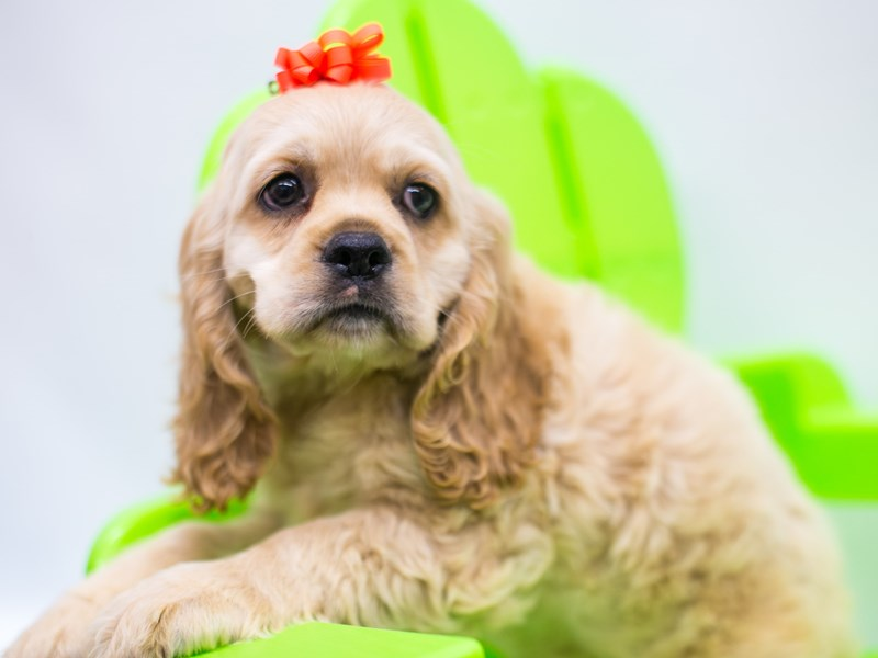 Cocker Spaniel-Female-Buff-2743842-Petland Wichita, KS