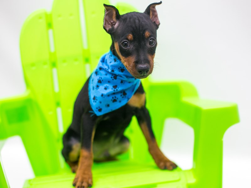 Miniature Pinscher-Male-Black & Tan-2741939-Petland Wichita, KS