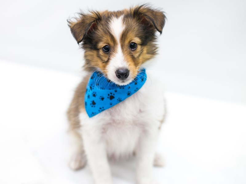 Shetland Sheepdog-Male-Sable & White-2758346-Petland Wichita, KS