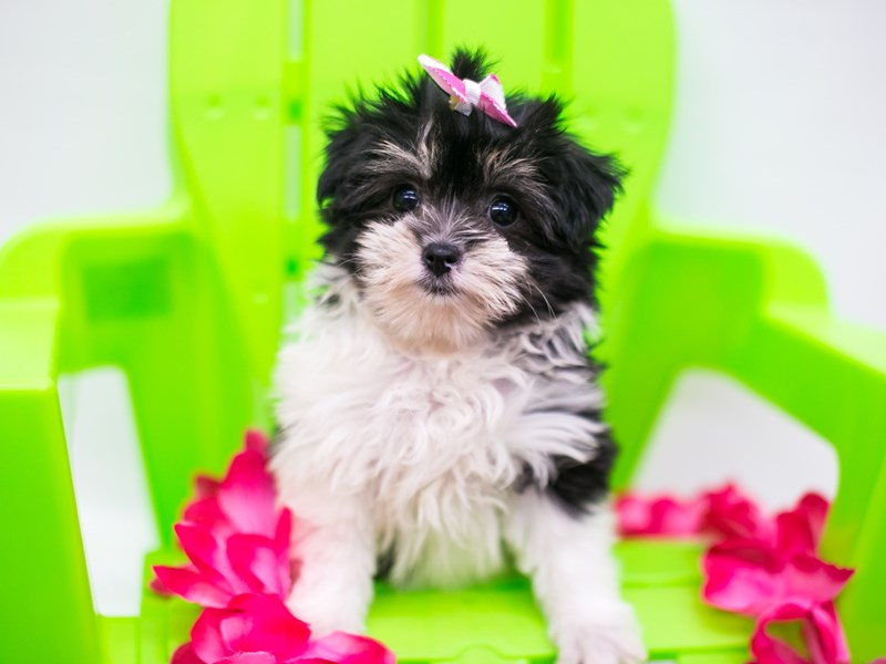 Cavapompoo-Female-Black Tri-2758285-Petland Wichita, KS