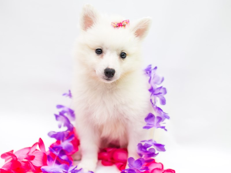 Miniature American Eskimo-Female-White-2758257-Petland Wichita, KS