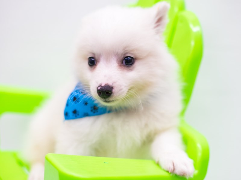 Miniature American Eskimo-Male-White-2758237-Petland Wichita, KS