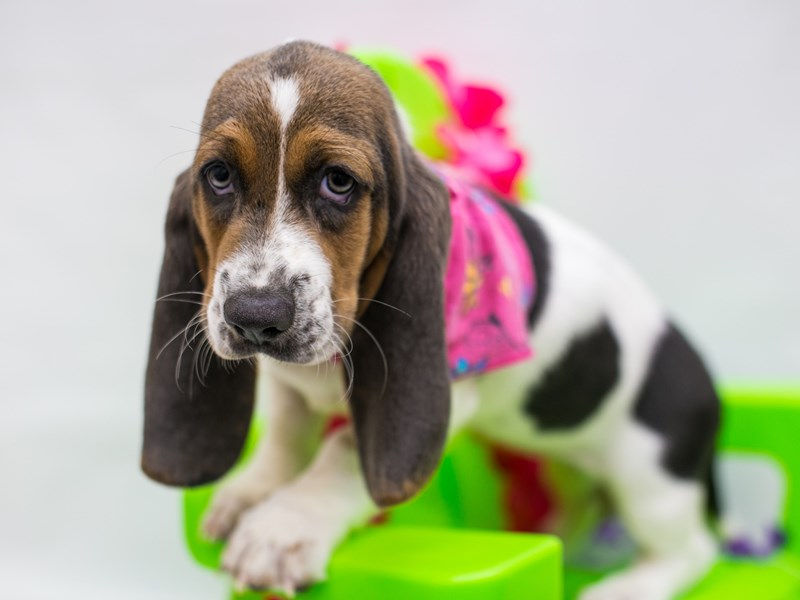 Basset Hound-Female-Blue Tri-2766432-Petland Wichita, KS