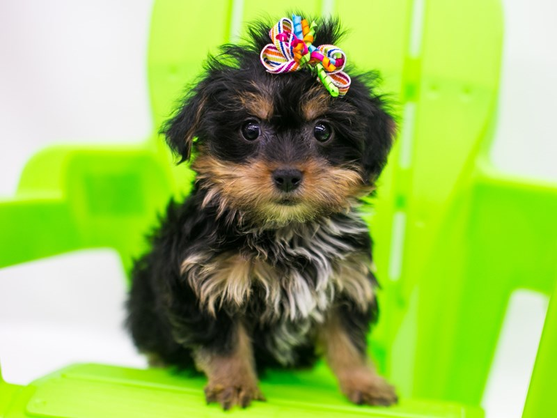 Yorkshire Terrier-Female-Black & Gold-2765829-Petland Wichita, KS