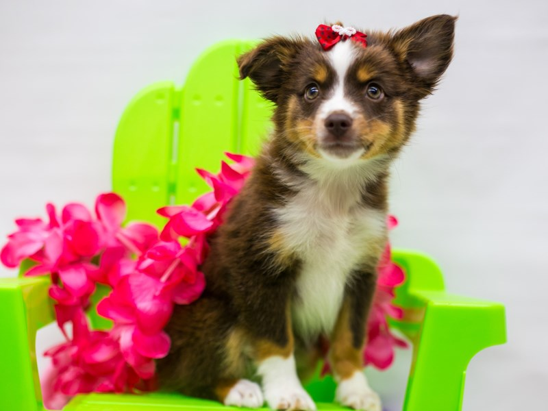 Miniature Australian Shepherd-Female-Red Tri-2766417-Petland Wichita, KS