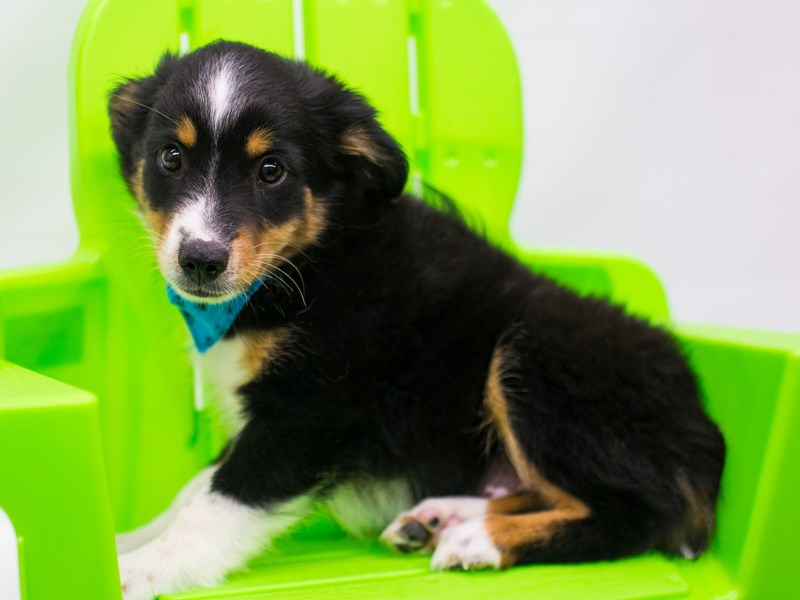 Miniature Australian Shepherd-Male-Black Tri-2766406-Petland Wichita, KS