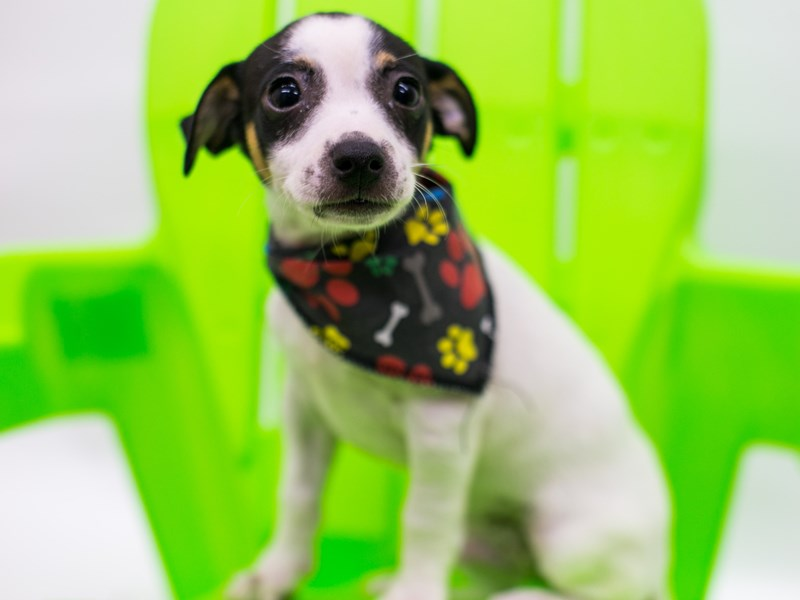 Rat Terrier-Male-Tri Color-2766370-Petland Wichita, KS