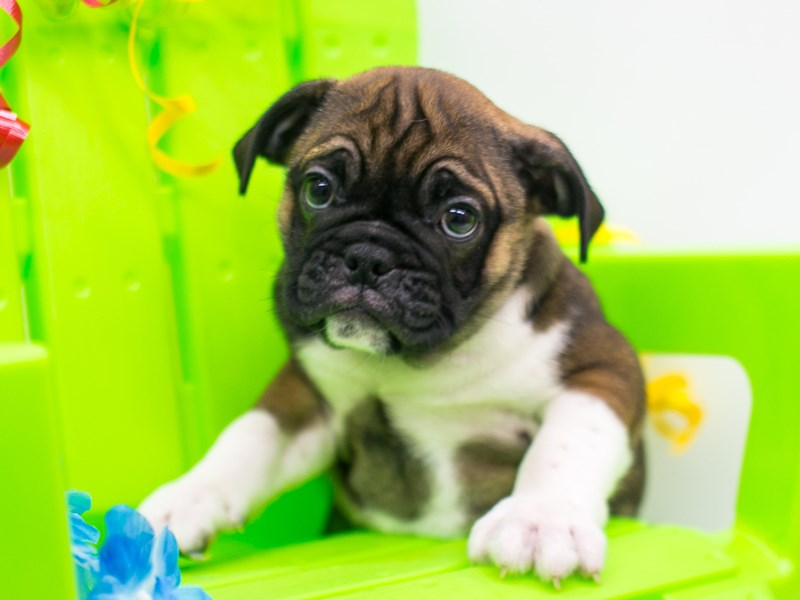 Miniature Bulldog-Male-Dark Sable w/White Front Legs-2766273-Petland Wichita, KS