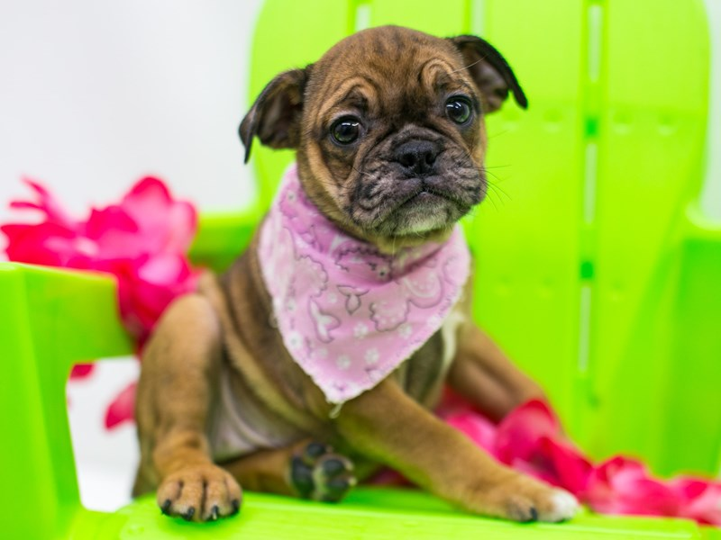 Miniature Bulldog-Female-Phantom Fawn Merle-2766246-Petland Wichita, KS
