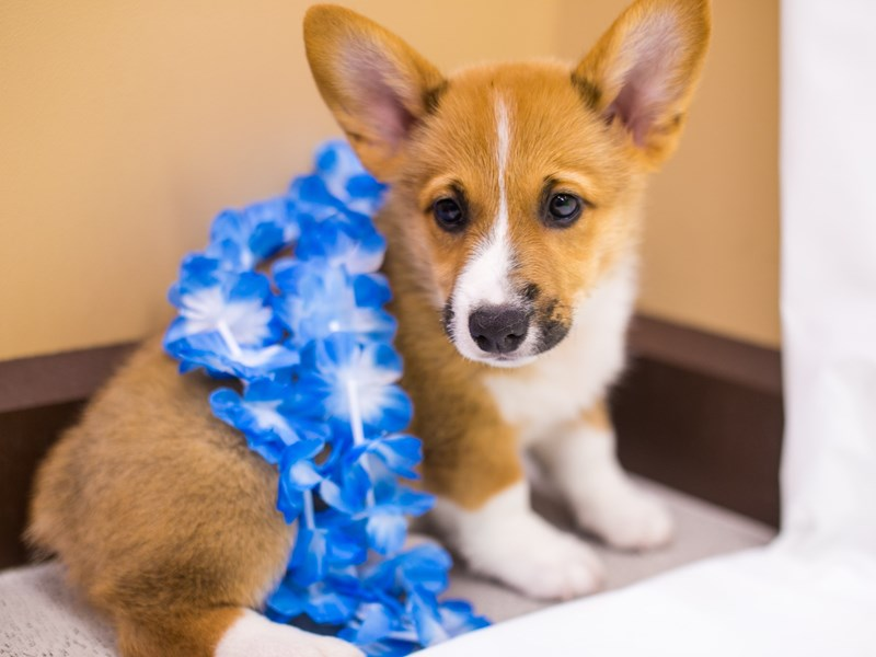 Pembroke Welsh Corgi-Male-Red & White-2765868-Petland Wichita, KS