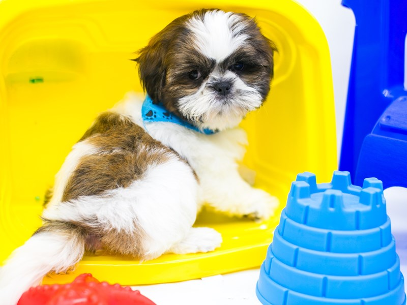 Shih Tzu-Male-Brindle & White-2773928-Petland Wichita, KS