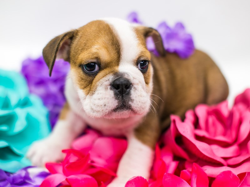 English Bulldog-Female-Red & White-2728915-Petland Wichita, KS