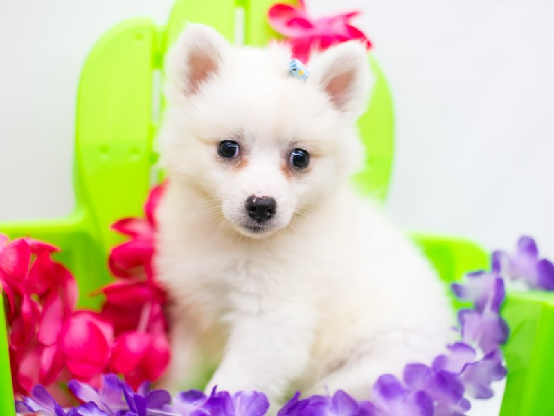 Miniature American Eskimo-Female-White-2758262-Petland Wichita, KS