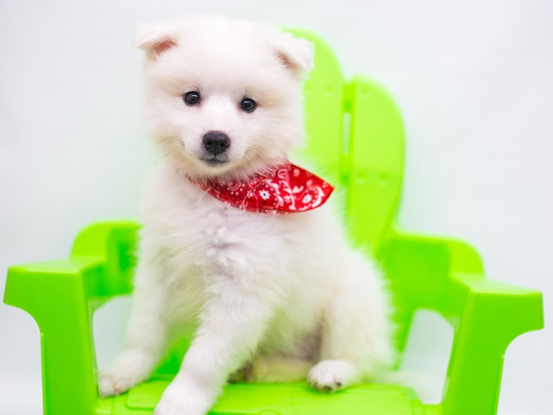 Miniature American Eskimo-Male-White-2758255-Petland Wichita, KS