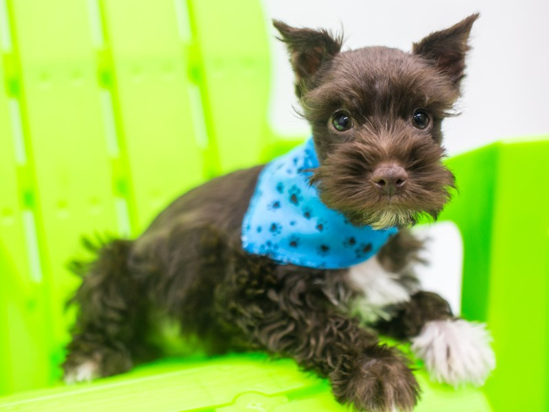 Miniature Schnauzer-DOG-Male-Liver & White-2758186-Petland Wichita, KS