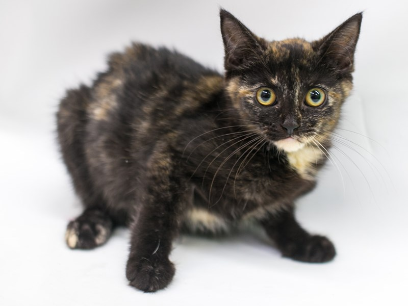 Kitten-CAT-Female-Tortoise Shell-2758409-Petland Wichita, KS