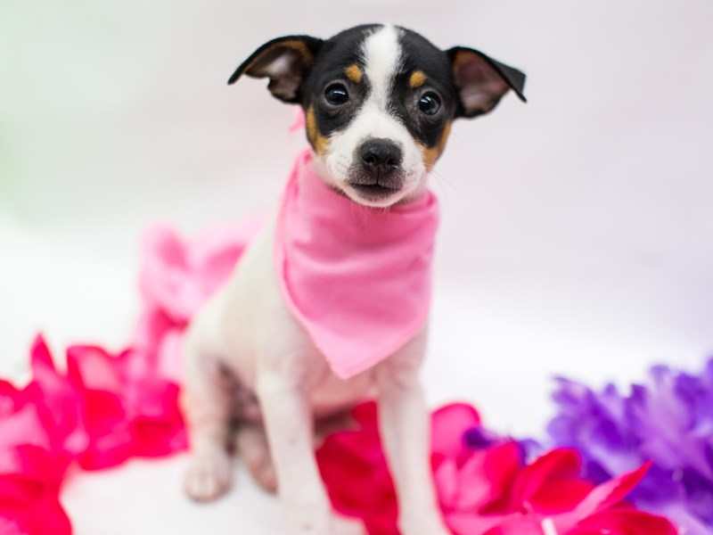 Rat Terrier-DOG-Female-Tri Color-2766378-Petland Wichita, KS
