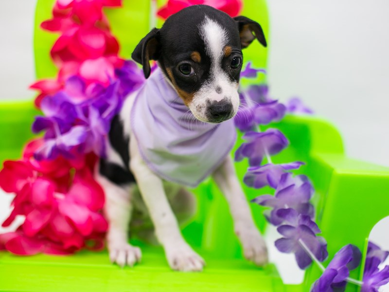 Rat Terrier-Female-Tri Color-2766372-Petland Wichita, KS