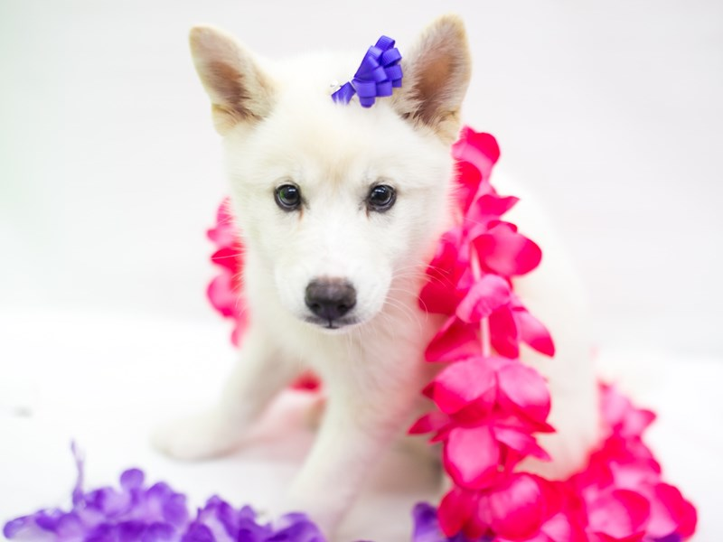 Huskimo-DOG-Female-White-2765957-Petland Wichita, KS