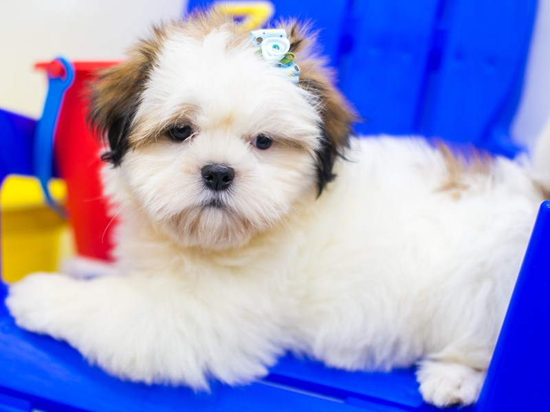 Shih Tzu-Female-Brindle & White-2773889-Petland Wichita, KS