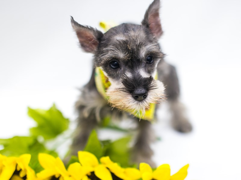 Miniature Schnauzer-DOG-Female-Salt & Pepper-2781705-Petland Wichita, KS